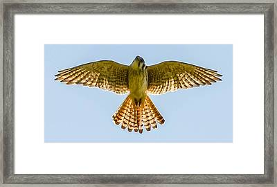 Peregrine Falcon Framed Print by Brian Stevens
