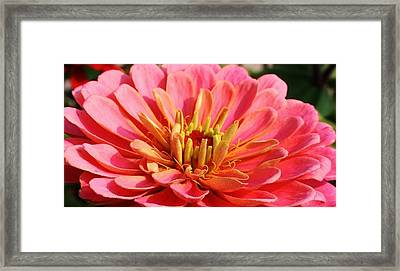 Petals Of Pink Framed Print by Bruce Bley