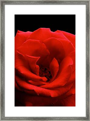 Photograph Of A Red Rose Framed Print