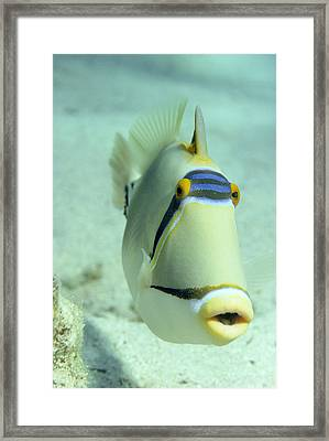 Picasso Triggerfish Framed Print by Georgette Douwma