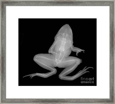Pickerel Frog Framed Print by Ted Kinsman