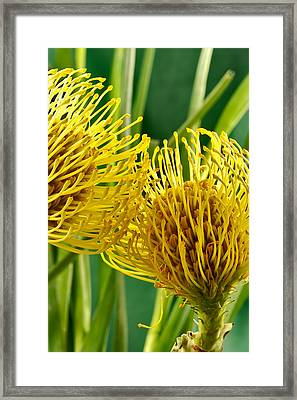 Picture Of A Pincushion Protea Framed Print