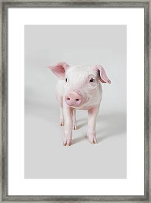 Piglet, Studio Shot Framed Print by Paul Hudson