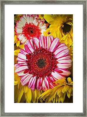 Pink And Yellow Mums Framed Print