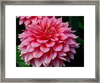 Pink Flowers Framed Print by Kathy Long