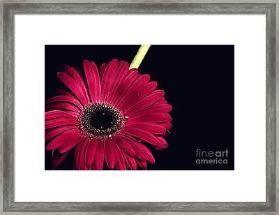 Pink Gerbera Framed Print by Soultana Koleska