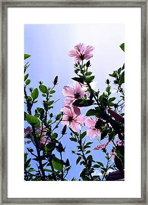 Pink Hibiscus Framed Print by Kevin Smith