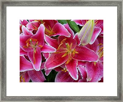 Pink Lilies With Water Droplets Framed Print
