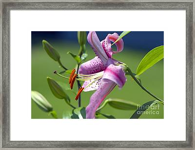 Pink Lily Framed Print by Sharon Talson