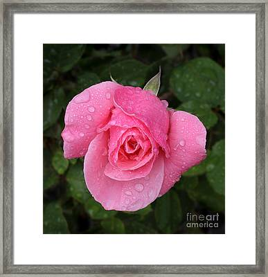 Pink Rose Macro Shot With Rain Drops Framed Print