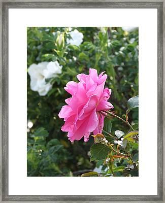 Pink Rose Framed Print by Rebecca Overton