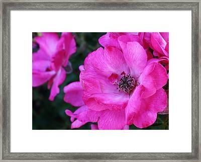 Pink Roses Framed Print by Bruce Bley