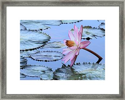 Pink Water Lily Framed Print by Sabrina L Ryan