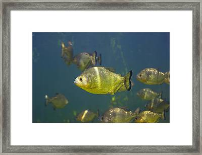 Piranhas Framed Print by Peter Scoones