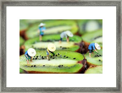 Planting Rice On Kiwifruit Framed Print
