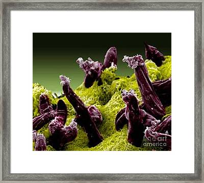Plasmodium Gallinaceum, Sem Framed Print by Science Source