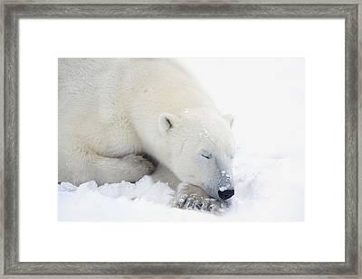 Polar Bear Ursus Maritimus Has His Eyes Framed Print by Richard Wear