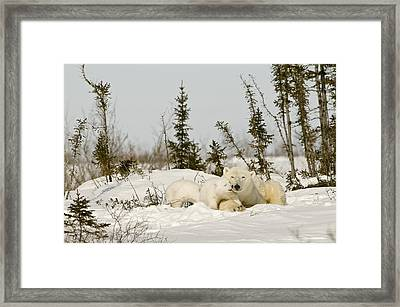 Polar Bear With Cub In Snow Framed Print by Robert Brown