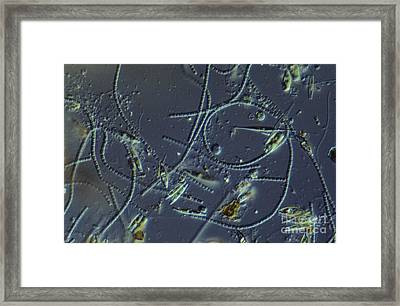 Pond Water Sample, Lm Framed Print by M. I. Walker