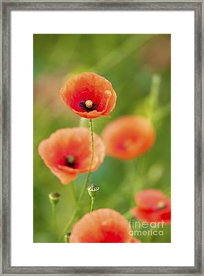 Poppies Framed Print by Andrew  Michael
