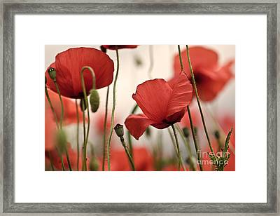 Poppy Flowers 04 Framed Print