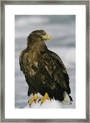 Portrait Of An Endangered White-tailed Framed Print by Tim Laman