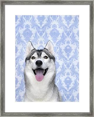 Portrait Of Siberian Husky Dog Framed Print by Brad Wilson