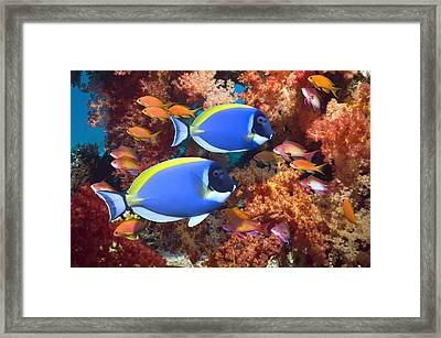 Powder-blue Surgeonfish Framed Print