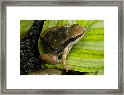 Pratts Rocket Frog With Young Framed Print by Dante Fenolio