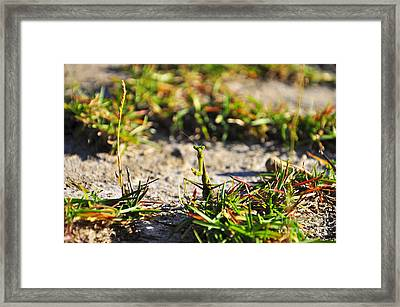Praying Mantis Framed Print by Al Powell Photography USA