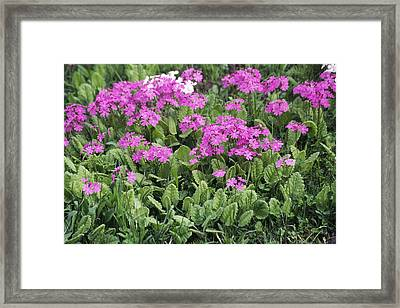 Primrose Flowers (primula Patens) Framed Print by Dr. Nick Kurzenko