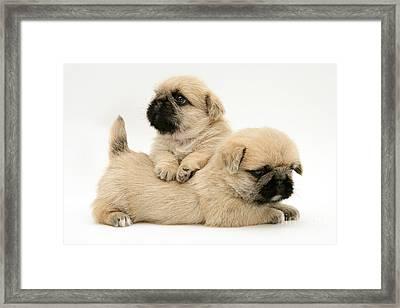 Pugzu Puppies Framed Print by Jane Burton