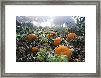 Pumpkin Patch, British Columbia Framed Print by David Nunuk