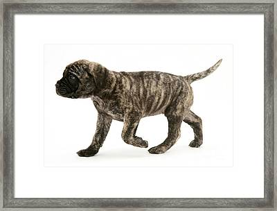Puppy Trotting Framed Print