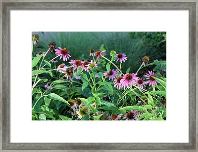 Purple Coneflowers Framed Print by Theresa Willingham