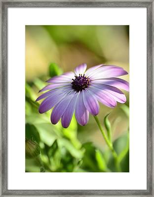 Purple Daisy  Framed Print by Saija  Lehtonen