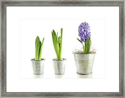Purple Hyacinth In Garden Pots On White Framed Print by Sandra Cunningham