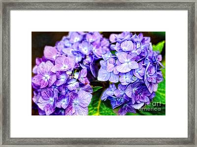 Purple Hydrangea Framed Print by Gina Cormier