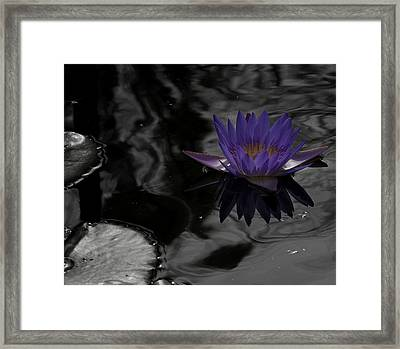 Purple Lilly In A Pond Framed Print