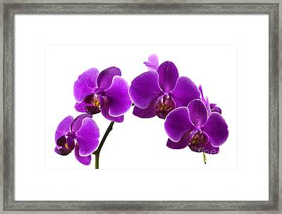 Purple Orchids Framed Print by Blink Images