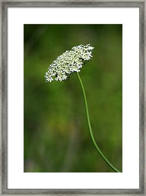 Queen Anne's Lace Framed Print by Rick Rauzi