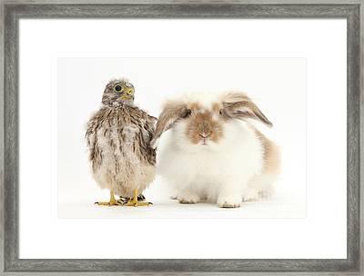 Rabbit And Kestrel Chick Framed Print
