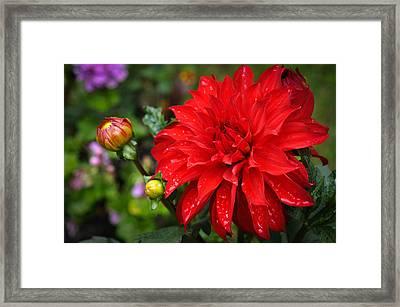 Rain And Red Dahlia Framed Print by Ronda Broatch