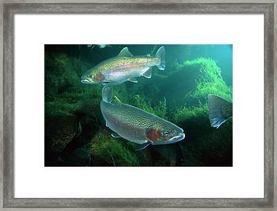 Rainbow Trout Oncorhynchus Mykiss Pair Framed Print by Michael Durham