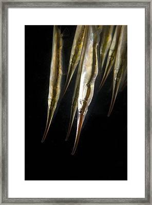 Razorfish Framed Print by Matthew Oldfield