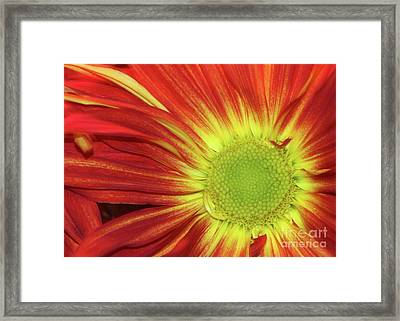 Red Daisy Framed Print by Sabrina L Ryan