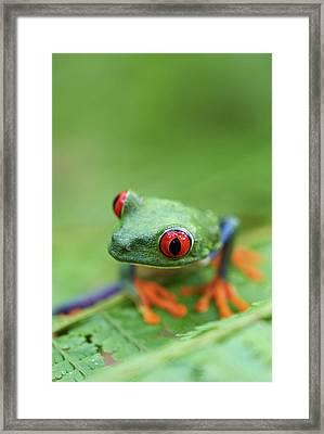Red-eyed Tree Frog (agalychnis Callidryas) Framed Print by Peter Lilja
