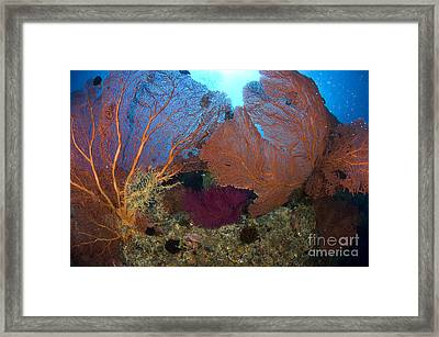 Red Fan Cora With Sunburst, Papua New Framed Print by Steve Jones
