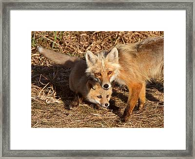Red Fox Vixen With Pup On Hecla Island In Manitoba Framed Print by Mark Duffy