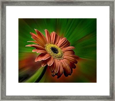 Red Gerber Daisy Framed Print by Bob Mulligan